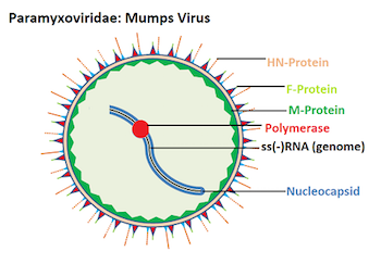 Structure of Mumps Virus