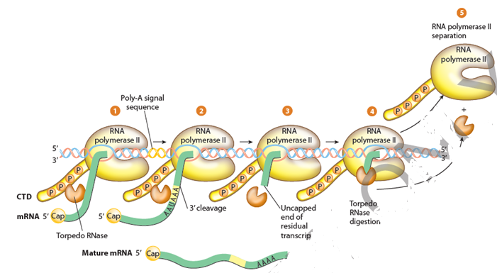 Termination Phase of Eukaryotic Transcription