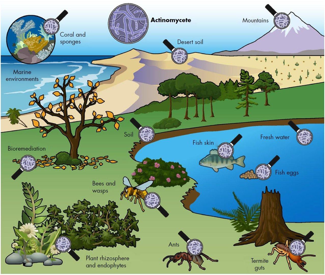 Actinomycete ecology