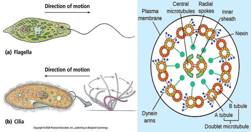 Cilia and Flagella- Structure and Functions
