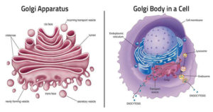 Golgi Apparatus- Structure and Functions