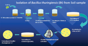 Isolation of Bacillus thuringiensis (Bt) from Soil sample