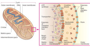 Mitochondria- Structure and Functions