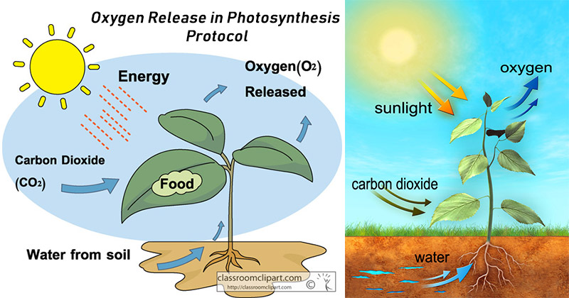 Oxygen Release in Photosynthesis Protocol