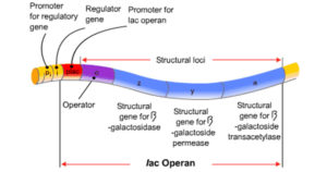 Regulation of protein synthesis in Prokaryotes