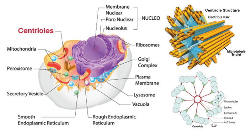 Centrioles- Structure and Functions