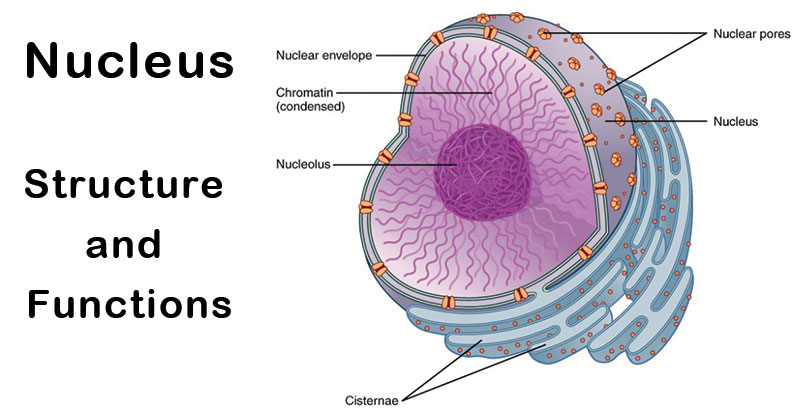 Nucleus Definition Structure Functions And Diagram