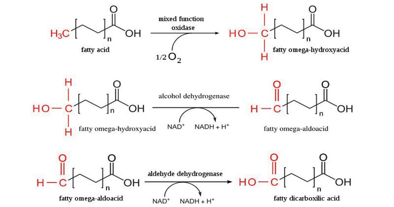 Omega oxidation(ω-oxidation) of fatty acid