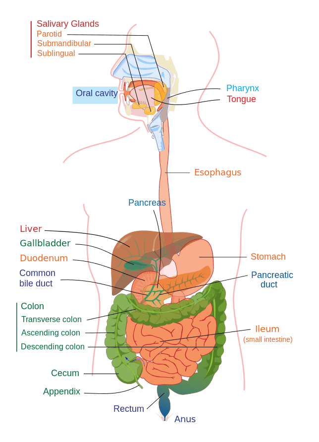 Alimentary Tract of The Human Digestive System
