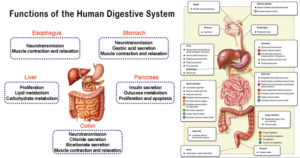 Functions of the Human Digestive System