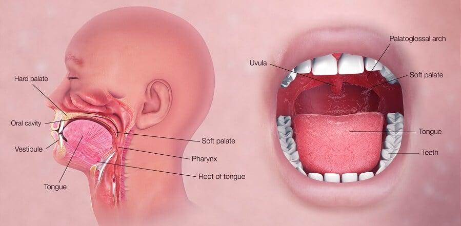 Human Mouth and Human Pharynx