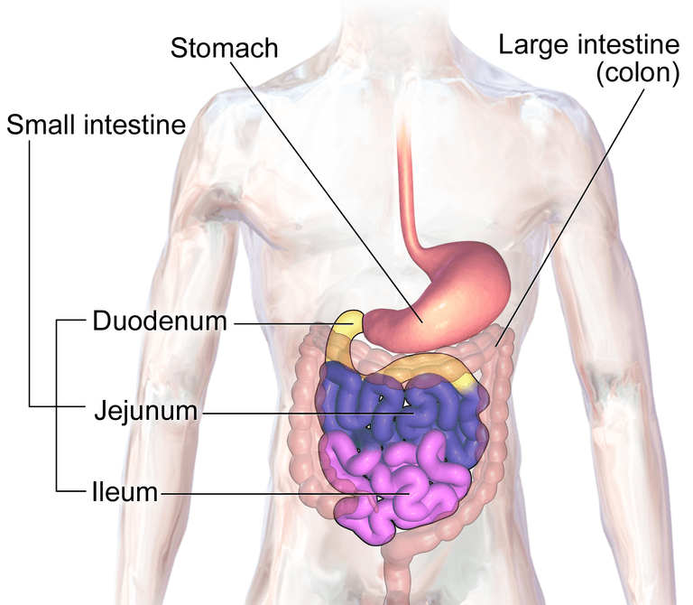 Human Small and Large Intestine