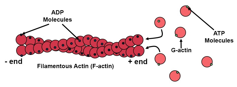 Microfilaments Structure