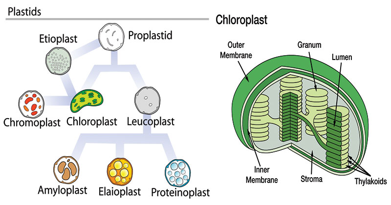 Plastids- Types, Structure and Functions