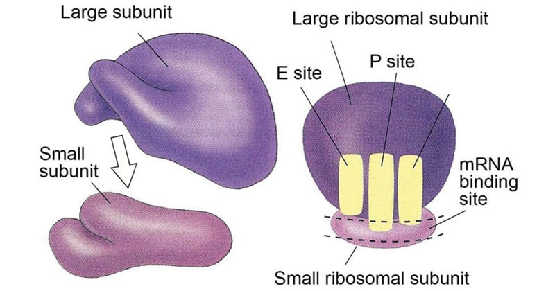 Ribosomes- Structure and Functions