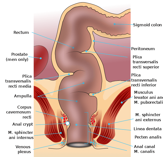 The Human Rectum and the Anal Canal