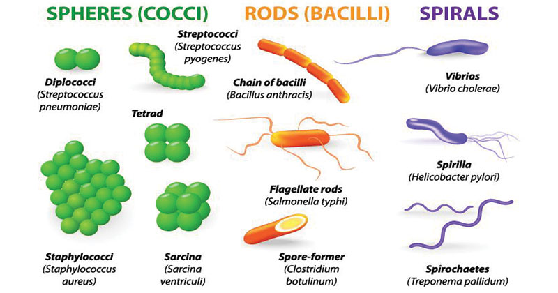Classification of Bacteria on the Basis of Shape