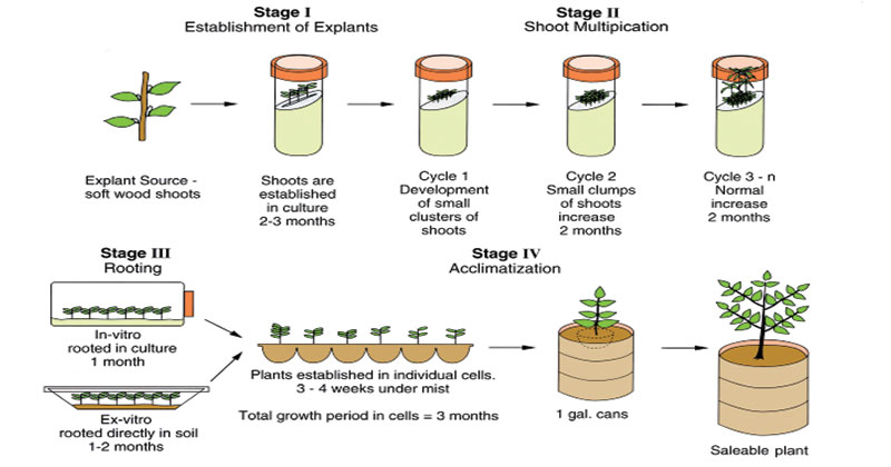 Stages of Micropropagation