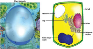 Vacuoles- Structure, Types and Functions