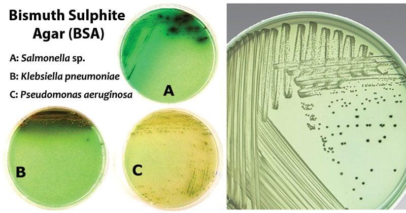 Bismuth Sulphite Agar (BSA)