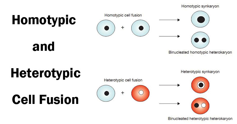 Cell Fusion- Types andSignificance
