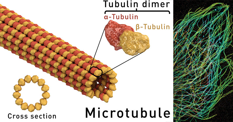 Microtubules Structure and Functions