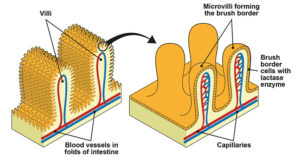 Microvilli- Structure and Functions