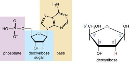 Deoxyribose Sugar
