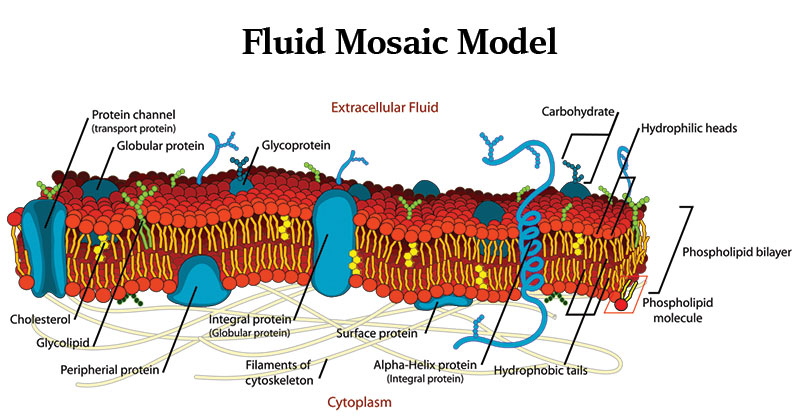 Fluid mosaic model of a cell membrane