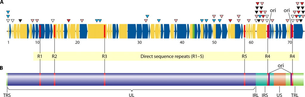 Genome of Varicella Zoster Virus
