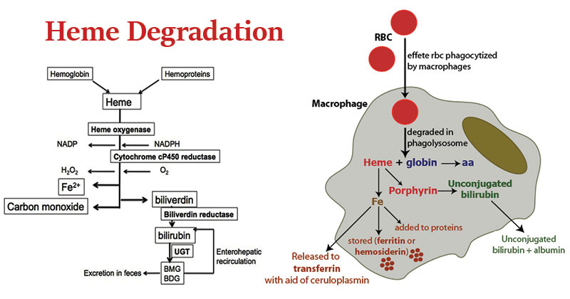 Heme Degradation