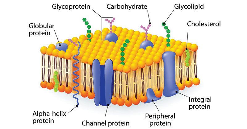 Membrane Carbohydrate Structure
