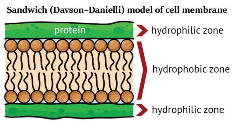 Sandwich (Davson–Danielli) model