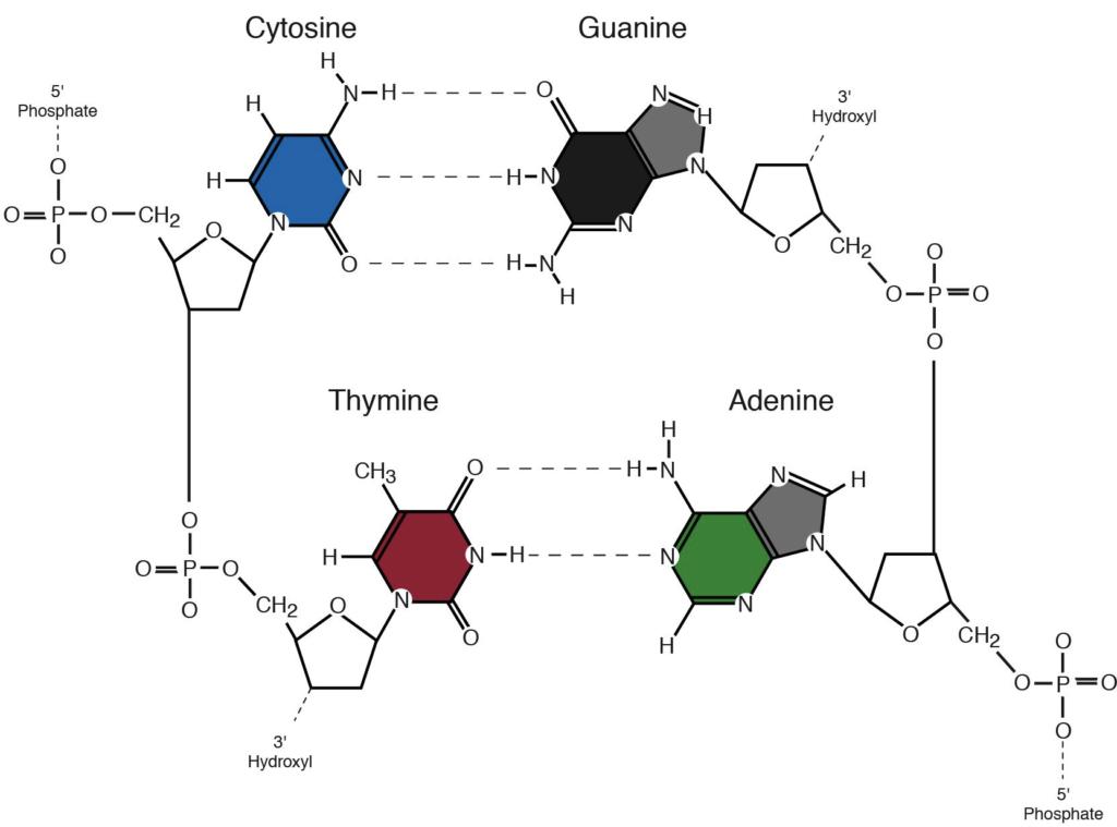 The Nitrogen Bases or Nucleotides