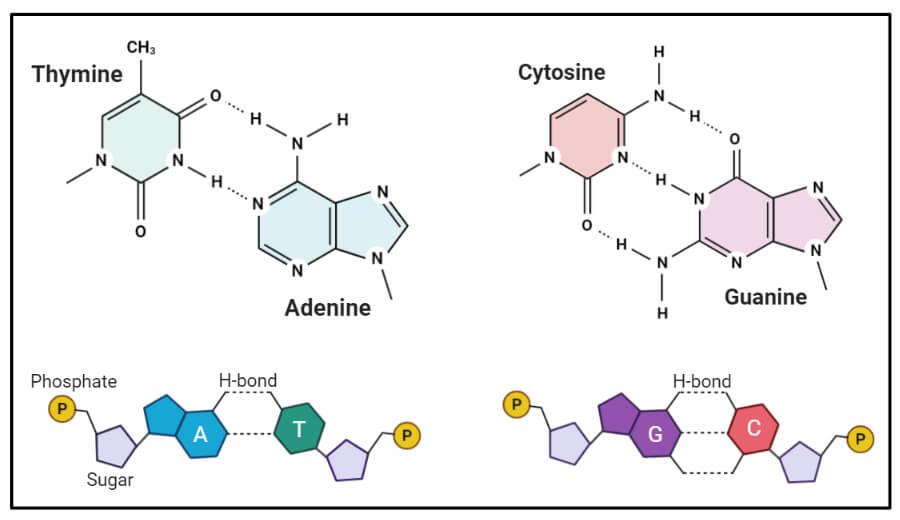 Nitrogen Bases or Nucleotides