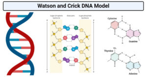 Watson and Crick DNA Model