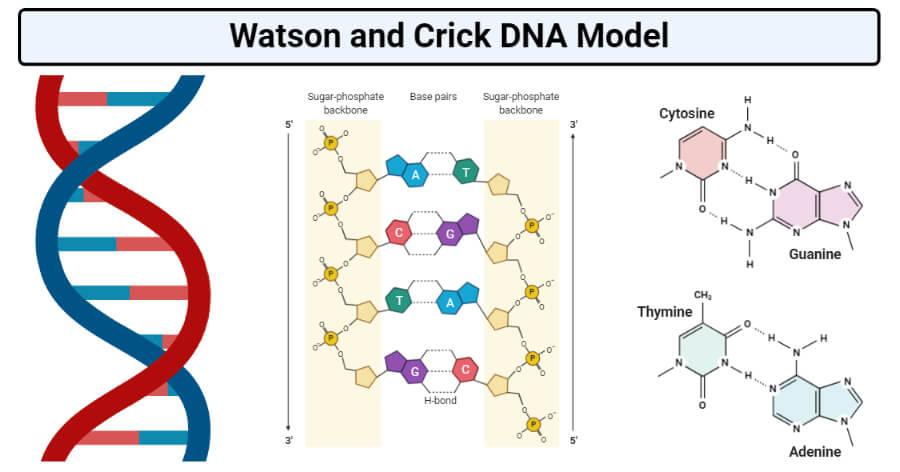 Watson and Crick DNA Model