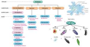 Classification of Phylum Protozoa