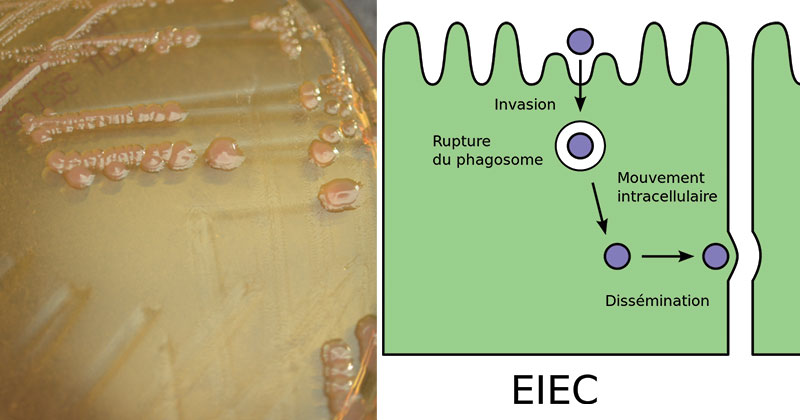 Enteroinvasive E. coli (EIEC)