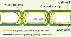 Plasmodesmata- Structure and Functions