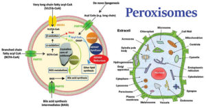 Structure of Peroxisomes