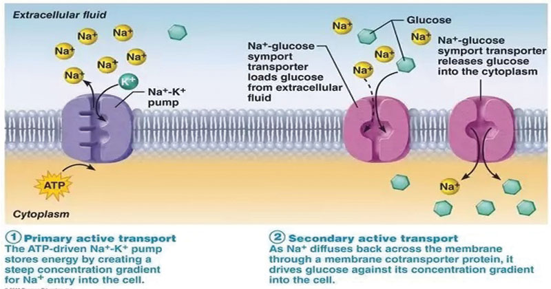Active Transport Types And Significance Biology Microbe Notes