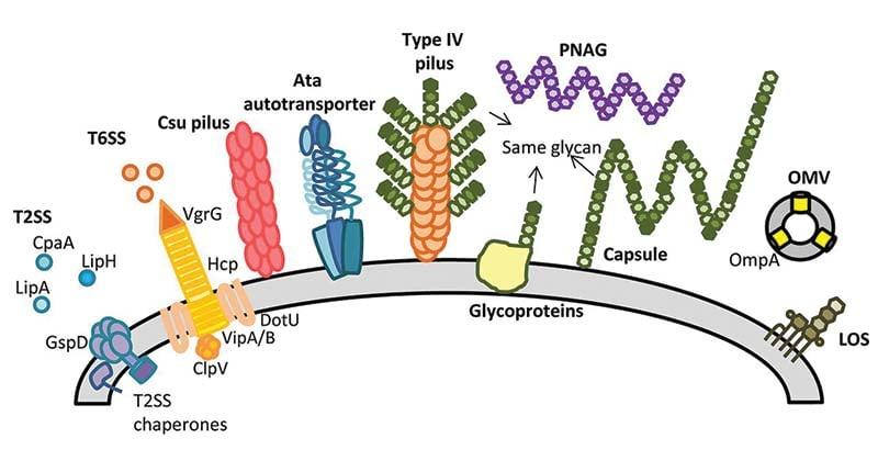Acinetobacter baumannii- Pathogenicity and Clinical Features
