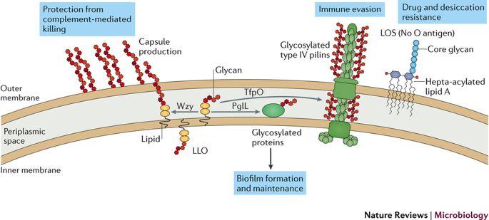 Acinetobacter baumannii surface-exposed glycoconjugates.