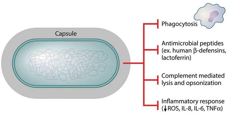 Klebsiella pneumoniae- Pathogenicity and Clinical Manifestations