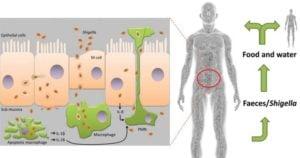 Shigella dysenteriae- Pathogenicity and Clinical Manifestation
