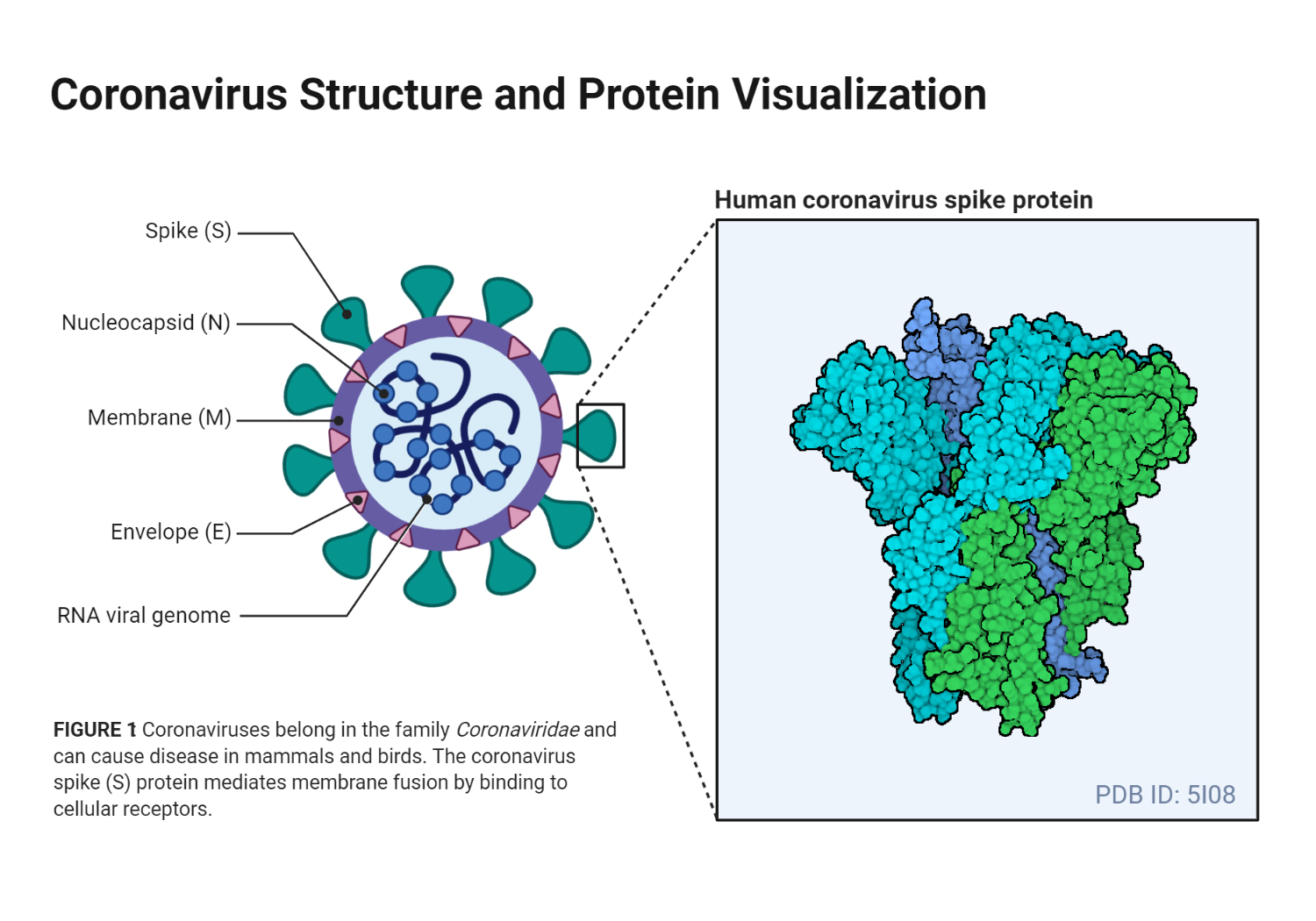 Coronavirus Structure and Protein Visualization
