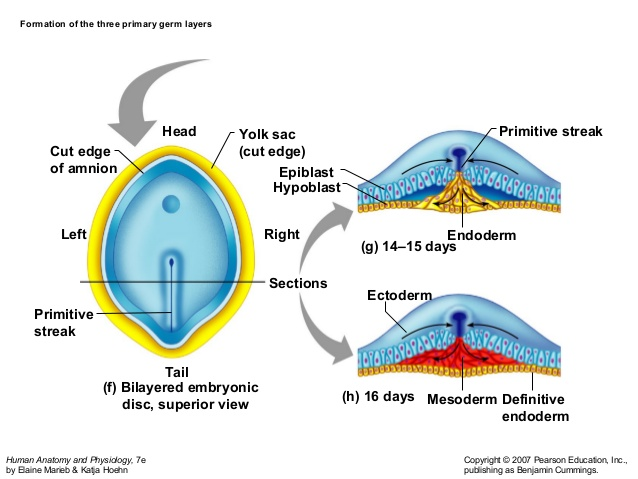 Gastrulation- Process, Consequences