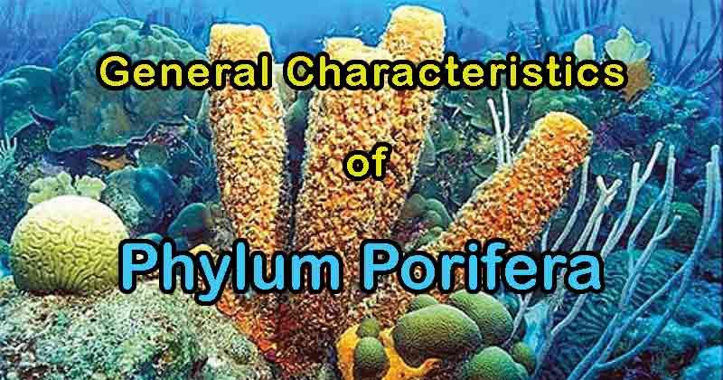 General Characteristics of Phylum Porifera
