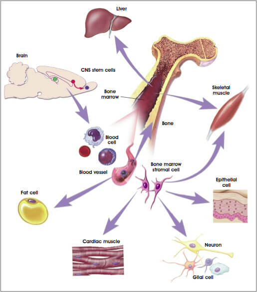 Adult stem cells (Somatic or Tissue-specific stem cell)